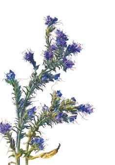 Rosie Sanders, Viper's Bugloss (Echium vulgare) Watercolour on Arches 640gsm 40.13 x 27.5ins (102 x 70cm)