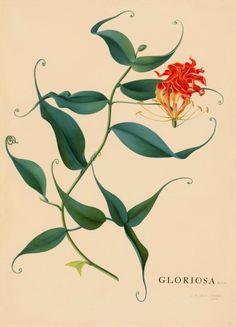 Gloriosa. A Perfect Recreation™ of the original watercolor on vellum. By Georg Dionysius Ehret, 1762