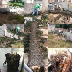 Corte  de  pinheiro natalino,após sofrer  queda devido apodrecimento por ação de cupins.