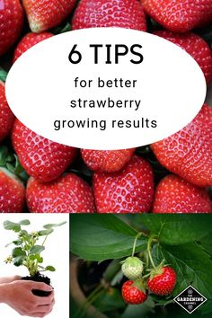 garden tips these gardening tips for productive strawberry plants. Learn how to select the correct variety and care for strawberry plants for larger harvests. Hydroponic Gardening, Hydroponics, Container Gardening, Organic Gardening, Indoor Gardening, Vegetable Gardening, Urban Gardening, Fruit Garden, Herb Garden