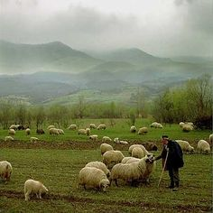 shepherd sheep - Google Search