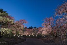 Photo: 今年も枝垂れ梅のライトアップへ行ってきました(^o^)  撮影日:2016.03.02 18:06p.m. 撮影地:なばなの里         #なばなの里  #三重  #ライトアップ  #枝垂れ梅  #しだれ梅  #flower  #flowers  #flowerphotography  #sony  #sonyalpha  #cooljapan  #japan  #landscape  #landscapephotography  #landscapeJPN  #花  #ume  #梅  #長島  #night  #nightphotography  #sky
