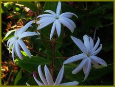 Jasmine Nitidum Plant Star Shining Windmill Angel Wing
