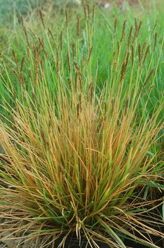 Ornamental grasses living walls and to miss on pinterest for Short variegated grass