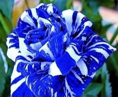 20 Blue Dragon Rose Seeds Rare beautiful stripe rose bush plant SEEDS in Home & Garden, Yard, Garden & Outdoor Living, Plants, Seeds & Bulbs Rare Roses, Rare Flowers, Exotic Flowers, Colorful Flowers, Ronsard Rose, Dragon Rise, Bush Plant, Rainbow Roses, Beautiful Rose Flowers