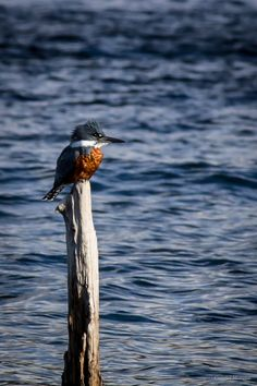 Martín Pescador Bird Pictures, Kingfisher, Beautiful Birds, Nepal, Bald Eagle, Photo And Video, World, Little Birds, Mosaics