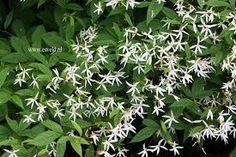 gillenia trifoliata - skuggperenn