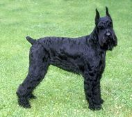 Farm Dog Breed - The Giant Schnauzer is a reliable, brave and loyal dog breed, allowing it to work well as a watchdog or herding dog. Miniature Schnauzer Black, Standard Schnauzer, Giant Schnauzer, Schnauzer Puppy, Schnauzers, Loyal Dog Breeds, Dog Breeds List, Loyal Dogs, Large Dog Breeds