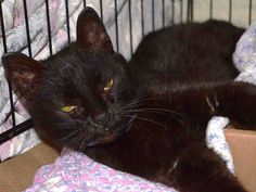 Pulled by Hudson Valley Animal Rescue and Sanctuary* TO BE DESTROYED 3/24/15 *NYC* PREGNANT SWEETHEART! * Manhattan Center * Beginner Jackie interacts with the Assessor, solicits attention, is easy to handle and tolerates all petting. This cat can go to a beginner home. *   My name is JACKIE. My Animal ID # is A1030687. I am a female black domestic sh mix. I am about 7 YEARS old.  I came in as a STRAY on 03/18/2015 from NY 10469