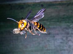 Absurd Creature of the Week: The Huge, Bee-Decapitating Hornet That Can't Survive Group Hugs   Credit: Satoshi Kuribayashi/Minden Pictures   From Wired.com