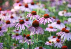 These full sun perennials will thrive in a garden with lots of light. Here's what you need to know about choosing perennial plants and flowers for full sun or part sun. Full Sun Flowers, Pretty Flowers, Purple Flowers, Full Sun Perennials, Flowers Perennials, Planting Flowers, Perennials Fabric, Common Garden Plants, Creeping Phlox