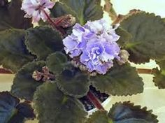 L' Heure Bleu - (Cox) semi dbl - dbl light to med. bluish purple with dk. green hairy leaves with serrated edges. I started this from a leaf from Julia 5-30-15. NOTE: It has 1st flower 2-1-16. It looks just like this picture. A pretty keeper for it's different leaves & blue color. (tbb)