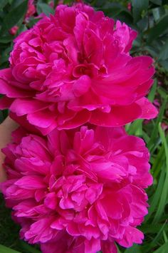 Peonies. Fuschia colored peonies!!!! Just looooooooooooooooove fuschia!!!!