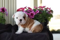English bulldog is a Super dog!!