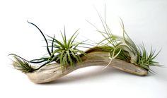 / air plants on driftwood