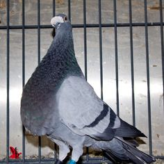 Buchon Jiennense. Pigeon, Animals, Breeds Of Chickens, Nests, Animales, Animaux, Animal, Animais