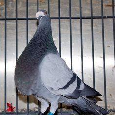 Buchon Jiennense. Pigeon, Animals, Breeds Of Chickens, Nests, Animales, Animaux, Animal Memes, Animal, Animais
