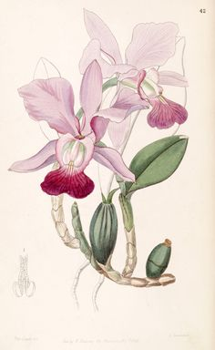 Cattleya_walkeriana_(as_Cattleya_bulbosa)_-_Edwards_vol_33_(NS_10)_pl_42_(1847) (429x700, 194Kb)