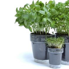 Windowherbs - Transparent Suction Cup Herb Pots - The Green Head