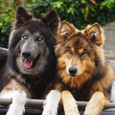 Animals And Pets, Funny Animals, Cute Animals, Big Dogs, Dogs And Puppies, Doggies, Beautiful Dogs, Animals Beautiful, Thor