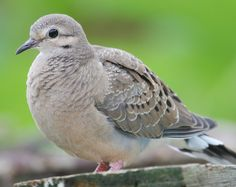 mourning dove could be letting you know that you need to simply
