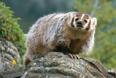 AMERICAN BADGERS....found in open country and deciduous woodlands in North America....measure 16.5 to 28 inches long with a 4 to 6.5 inch tail and a weight of 8.75 to 26 lbs.....referred to as 'tlacoyote' in Mexico....has 2 inch long claws for digging