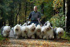 Grandes e fofos o charme dos Sheep Dogs
