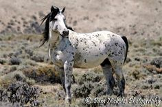 Mustang Horse | The Equine.