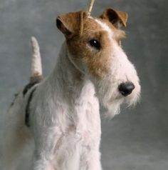 Fox Terrier (Wire). A particularly handsome example of this wonderful b reed.
