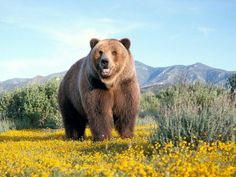 Papel de Parede Urso