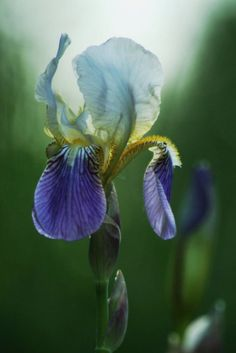 Iris - reminds me of my Grandmother