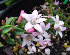 Eriostemon buxifolia Cascade of Stars Waxflower