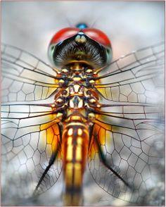 #Dragonfly #macro #gold #insect #macro