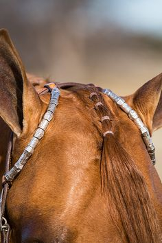The banding of the forelock in a WP horse is incredibly complex. While the task itself might be simple enough, the strategy of counting bands to best accentuate the horse's face is another story. Horse Mane Braids, Horse Hair Braiding, Cute Horses, Pretty Horses, Beautiful Horses, Horse Halters, Horse Saddles, Western Saddles, Barrel Racing Horses