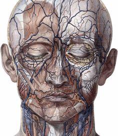 Pookascrayon,scientific Illustration Facial Anatomy