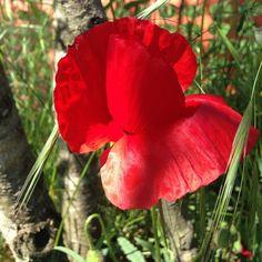 Gelincik #gelincik #çiçek #flower #çiçekler #flowers #bahçe #garden #doğa #nature #foto #photo #fotoğraf #photography #nofilter #demirciliköyü #şile #istanbul #türkiye http://turkrazzi.com/ipost/1518887745093634144/?code=BUULFtUAAhg
