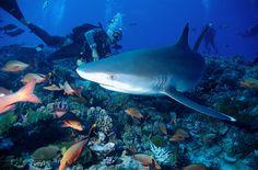 Oceanic White Tip Shark in Rangiroa