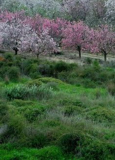 Almond trees in full bloom herald the arrival of spring in Israel.