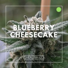 Blueberry Cheesecake, Photo credits: Double Dutch Farms