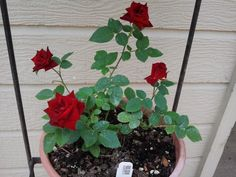 just stunning Chris VanCleave shares another Authentic Haven Brand fed rose bush 'Memphis King' miniflora