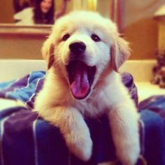 "Golden Retriever Pup ~ Classic ""Hey Guys"" Look"