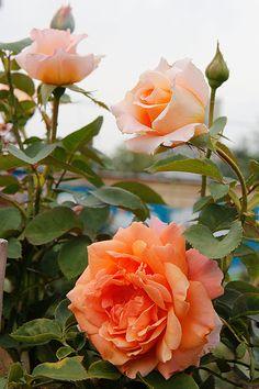 (Special Occasion) Fryer's Roses 1995 : @ miruvlecheniy