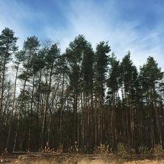 Tall tall trees. #puremichigan #blueskies #talltrees #pinetrees #michigan