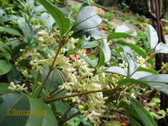 Osmanthus fragrans, the white flowers are not showy, but the scent fills even a largish garden.