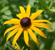 Types of Wildflowers: Rudbeckia Picture