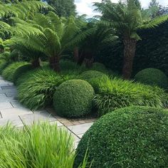 Green on green planting scheme! Plants featured include Tree Ferns, Hakonechloa grasses and box. I like the contrast of grasses against the boxwood. Garden is well maintained by .