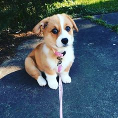 Are you sure this is the way to the park? ----- Tag someone who would enjoy this Follow @boss.corgi for more like this #MegaCorgis,…