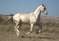 Фото лошади ахалтекинской породы изабелловой масти Akhal Teke Horses, Friesian Horse, Thoroughbred, Magical Images, Most Beautiful Horses, Pony Horse, Equine Photography, Horse Pictures, Horse Breeds