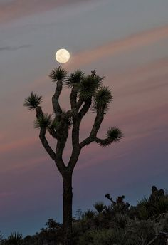 Full Moon at Joshua Tree National Park Art Print by Loree Johnson. All prints are professionally printed, packaged, and shipped within 3 - 4 business days. Desert Art, Desert Sunset, Cute Wallpaper Backgrounds, Cute Wallpapers, Joshua Tree Wallpaper, Joshua Tree National Park, National Parks, Desert Aesthetic, Lion Photography