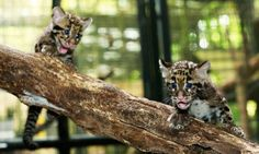 Cubs are seen climbing on branches.